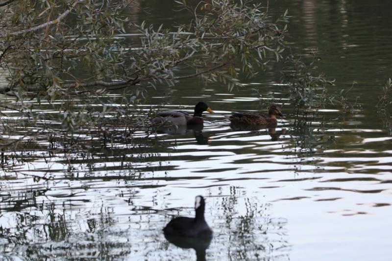 Quelques photos d'oiseaux. 624a0016