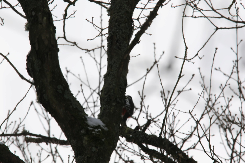 Neige et oiseaux. 624a0023