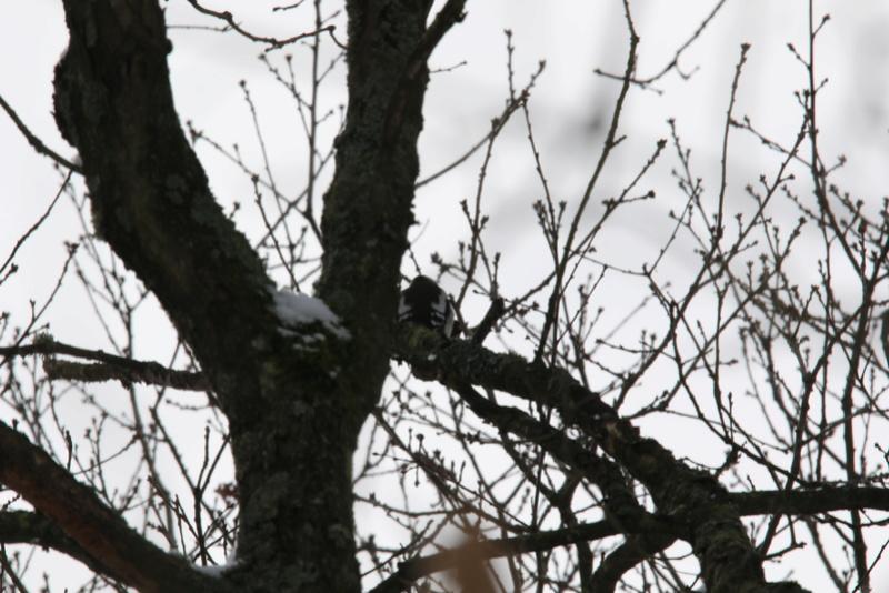 Neige et oiseaux. 624a0024