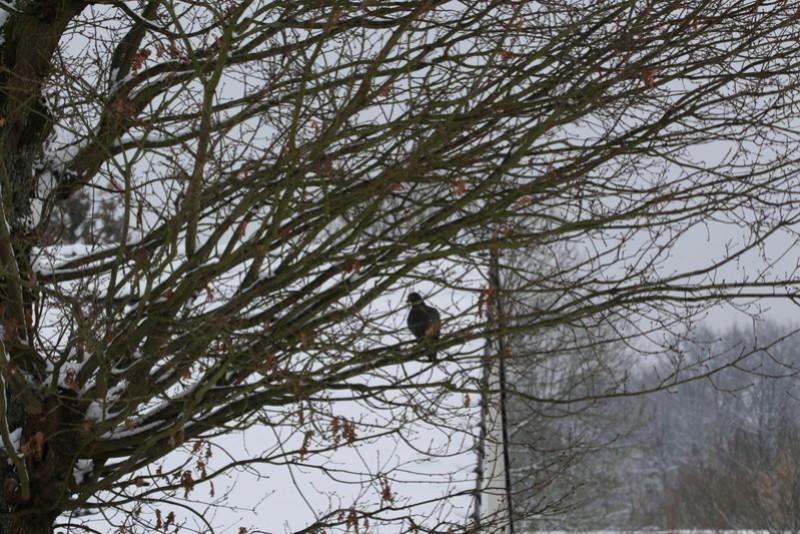 Neige et oiseaux. 624a0025