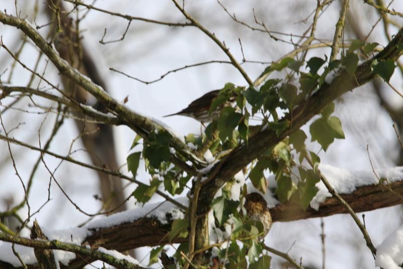 Neige et oiseaux. 624a0110
