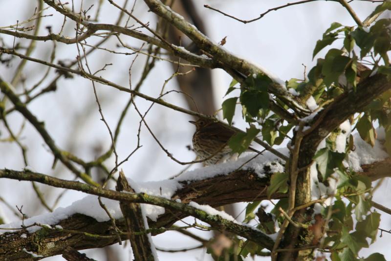 Neige et oiseaux. 624a0112