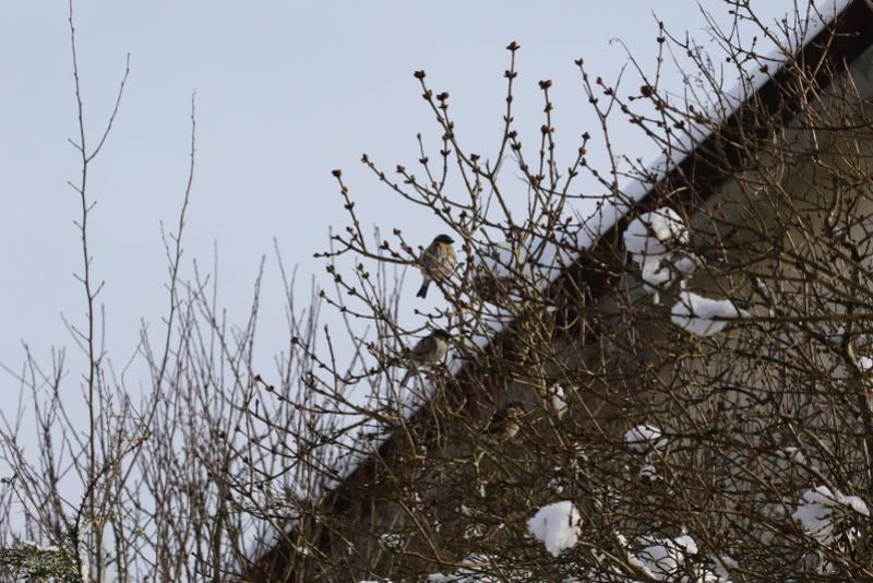 Neige et oiseaux. 624a0114