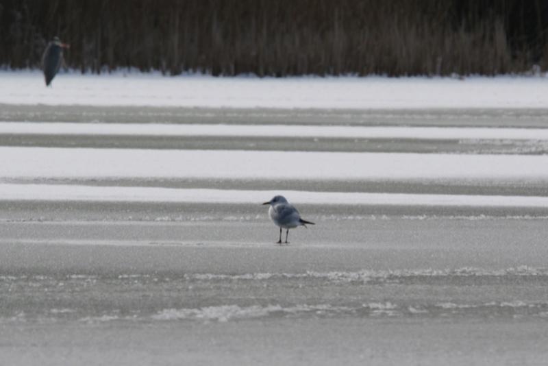 Neige et oiseaux. 624a0115