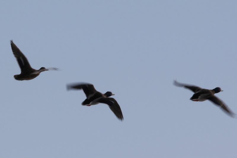 Neige et oiseaux. 624a0117