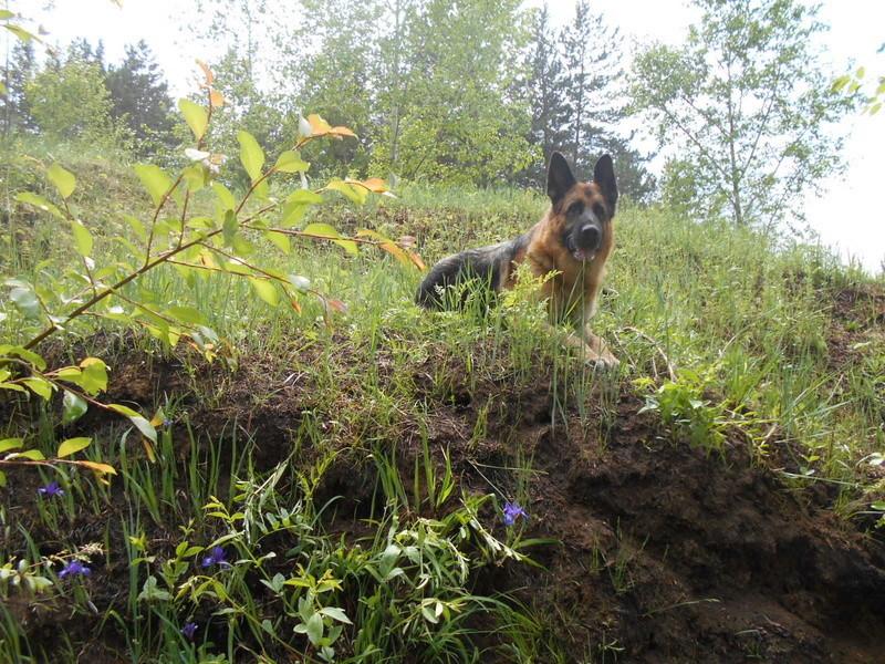 Мои собаки ! (немцы ,малинуа,хаски ,пины ,дог... - Страница 5 Image_16