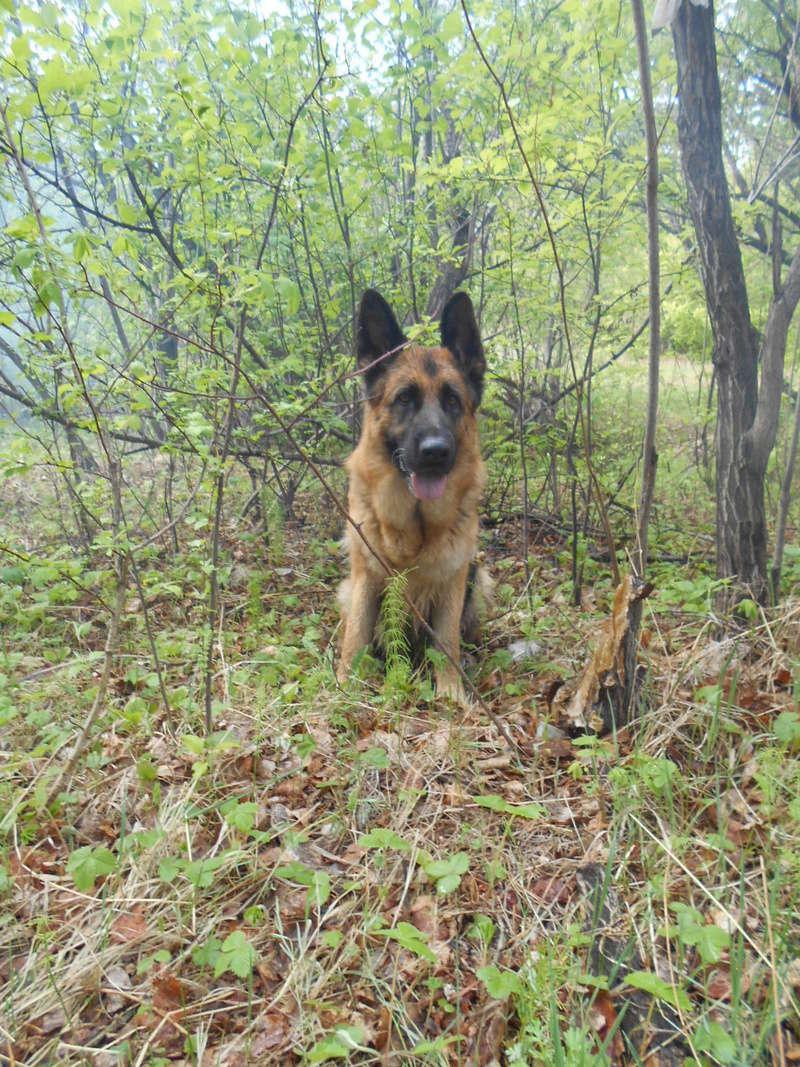Мои собаки ! (немцы ,малинуа,хаски ,пины ,дог... - Страница 5 Image_19