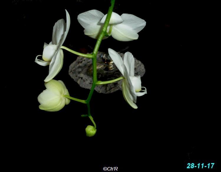 Nouvelle floraison pour cette orchidée. Dsci0012