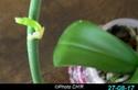 Nouvelle floraison pour cette orchidée. P1010010