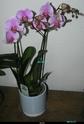 Nouvelle floraison pour cette orchidée. P1010011