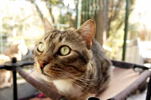 Minou chat tigré et blanc 4 ans FIV+ ass Charly's Angels  2b0a8d10