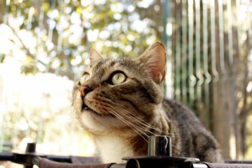 Minou chat tigré et blanc 4 ans FIV+ ass Charly's Angels  39c68110