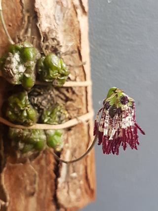 Miniatur-Orchideen Teil 4 - Seite 4 Bulbop17