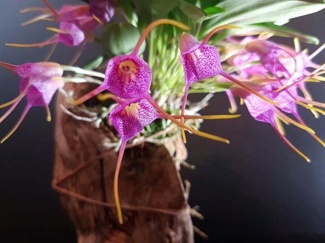 Miniatur-Orchideen Teil 3 - Seite 42 Masdev20