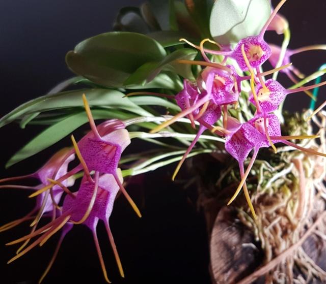 Miniatur-Orchideen Teil 3 - Seite 42 Masdev30