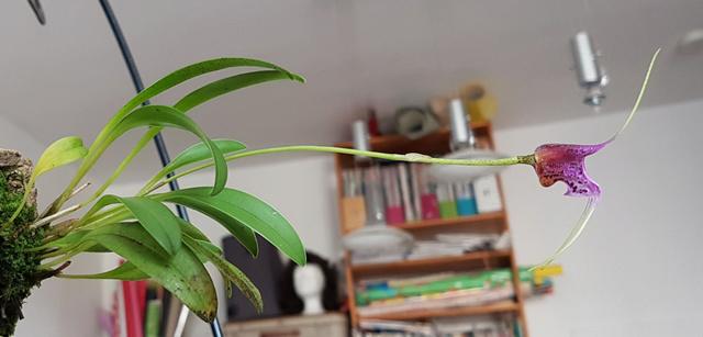 Miniatur-Orchideen Teil 3 - Seite 42 Masdev31