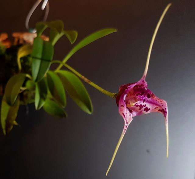 Miniatur-Orchideen Teil 3 - Seite 42 Masdev34