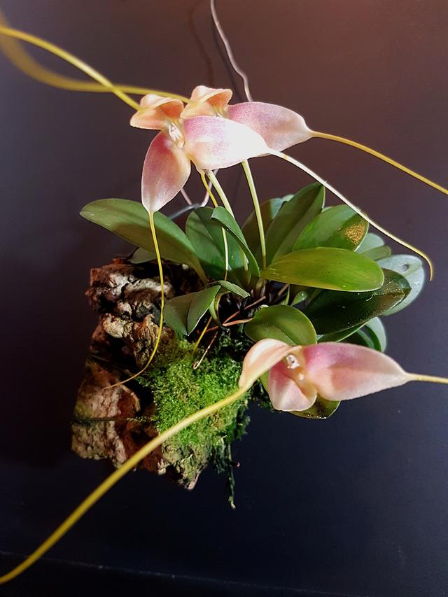 Miniatur-Orchideen Teil 3 - Seite 42 Masdev39