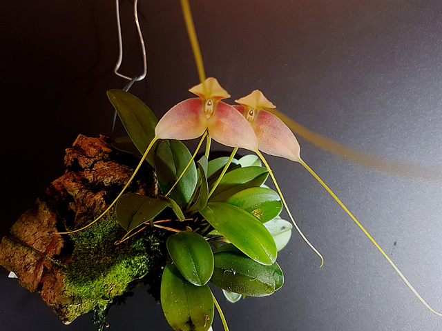 Miniatur-Orchideen Teil 3 - Seite 42 Masdev42