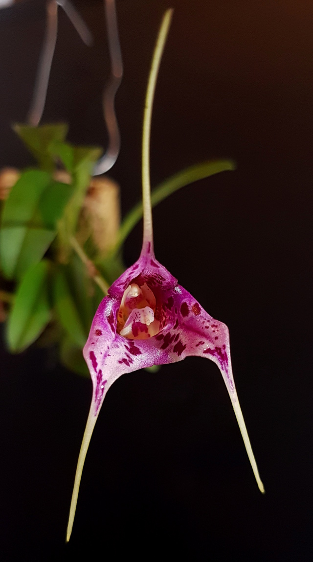 Miniatur-Orchideen Teil 3 - Seite 42 Masdev43