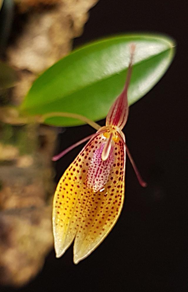 Miniatur-Orchideen Teil 3 - Seite 43 Restre33