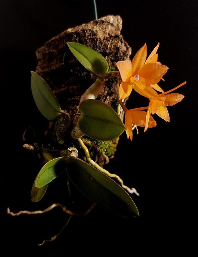 Miniatur-Orchideen Teil 3 - Seite 43 Sophro13