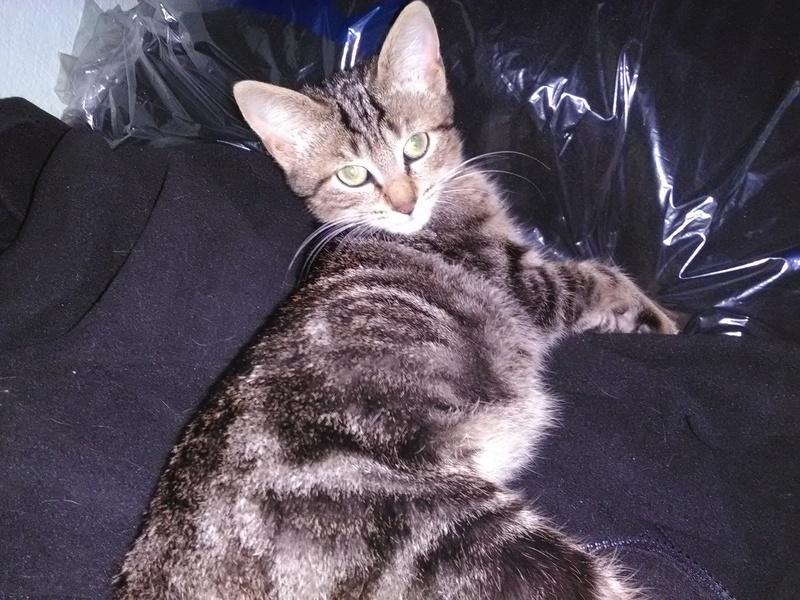 nora - NORA, chatonne européenne tigrée, née le 02/08/17 Img_2027