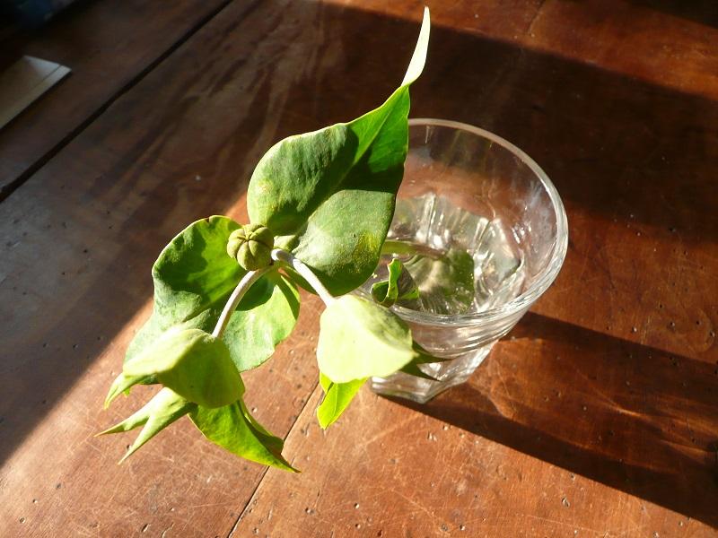 demande d'aide a identification : Euphorbia lathyris Plante12