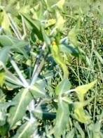 demande d'aide a identification : Euphorbia lathyris Plante13