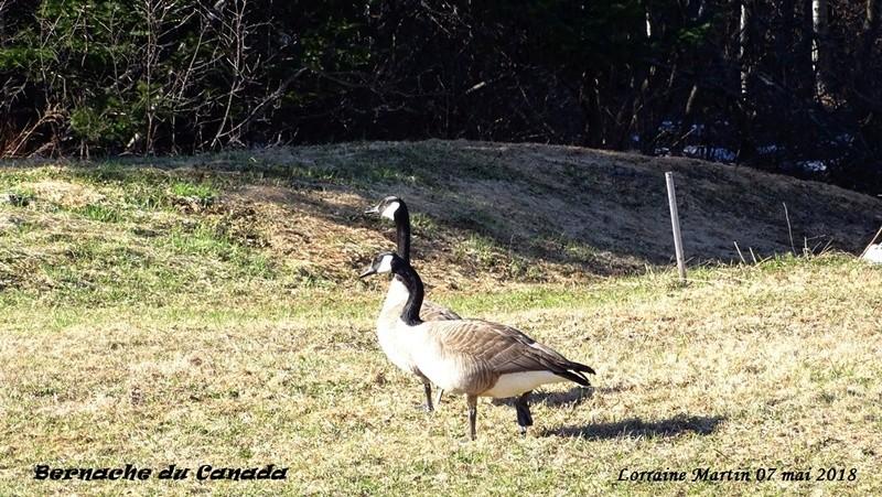 Bernaches du Canada sur le terrain 7 photos  Bernac10
