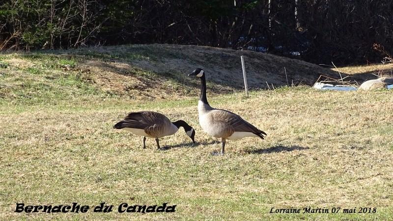 Bernaches du Canada sur le terrain 7 photos  Bernac11