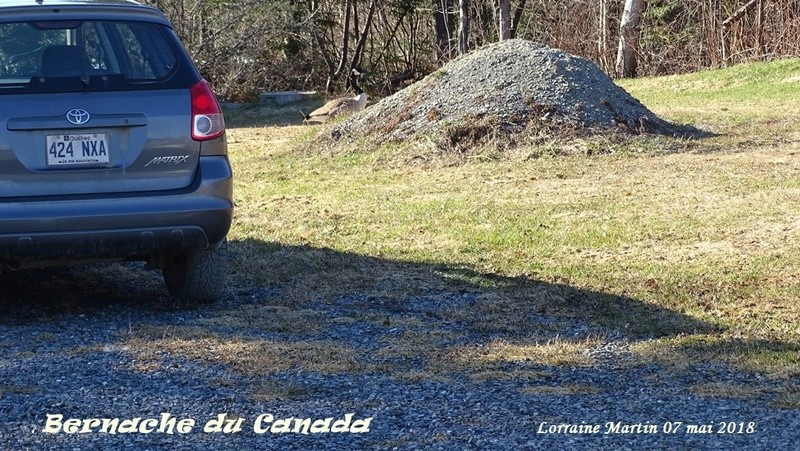 Bernaches du Canada sur le terrain 7 photos  Bernac12