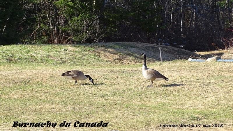 Bernaches du Canada sur le terrain 7 photos  Bernac15
