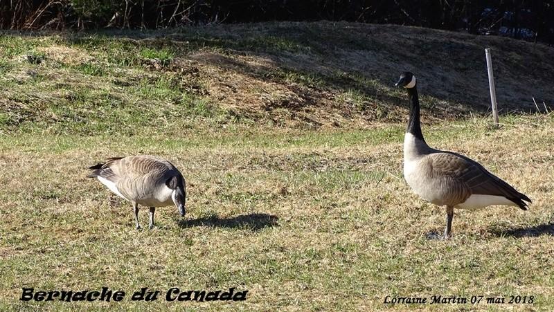 Bernaches du Canada sur le terrain 7 photos  Bernac16