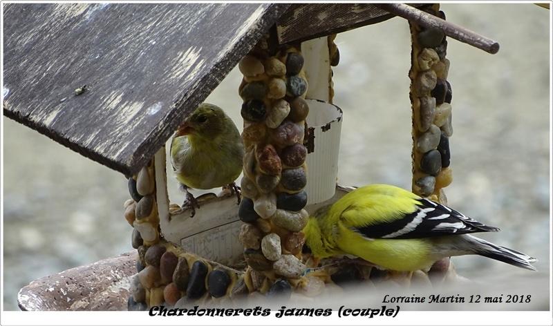 Chardonnerets jaunes couple 12 mai 2018 Chardo11