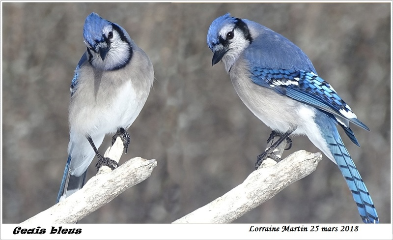 Geais bleus  Deux_g10