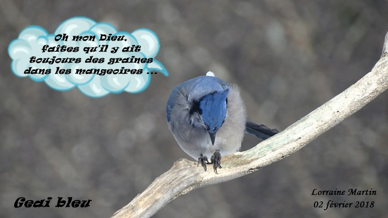 Geai bleu en prière  Geai_b13