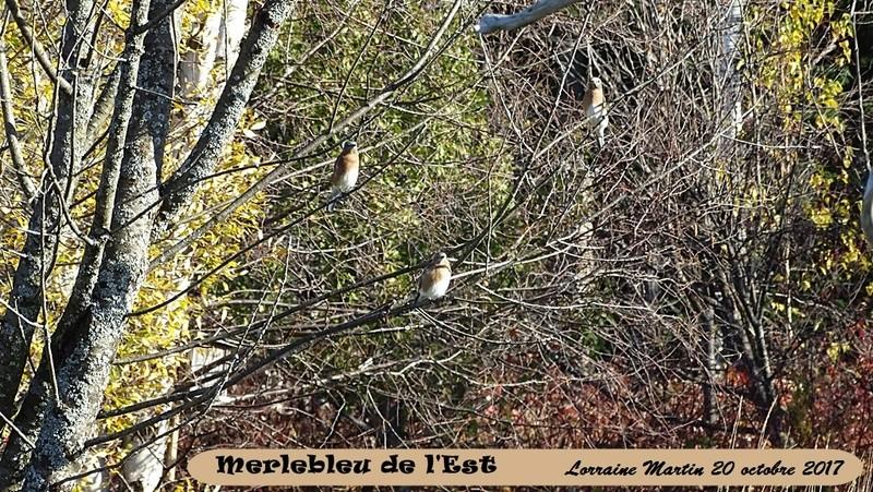 Merlebleu de l'Est  Merleb16