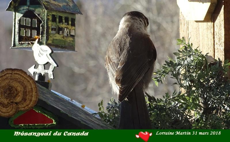 Mésangeai du Canada aux mangeoires  Mysang12