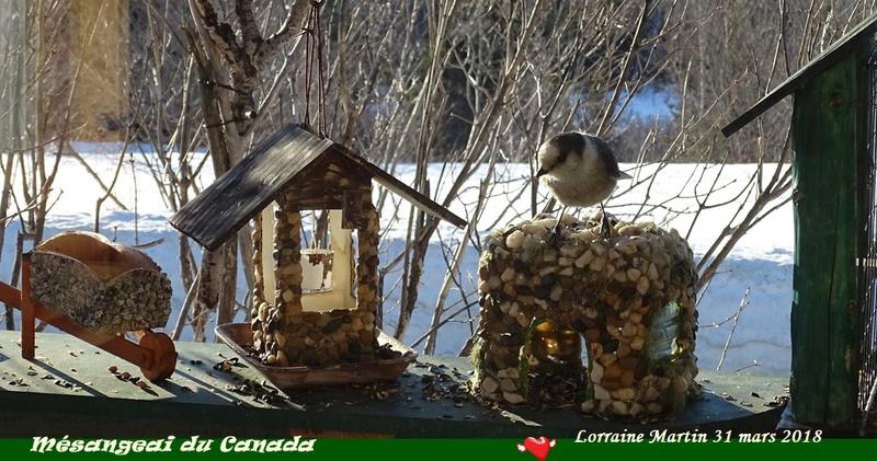 Mésangeai du Canada aux mangeoires  Mysang13