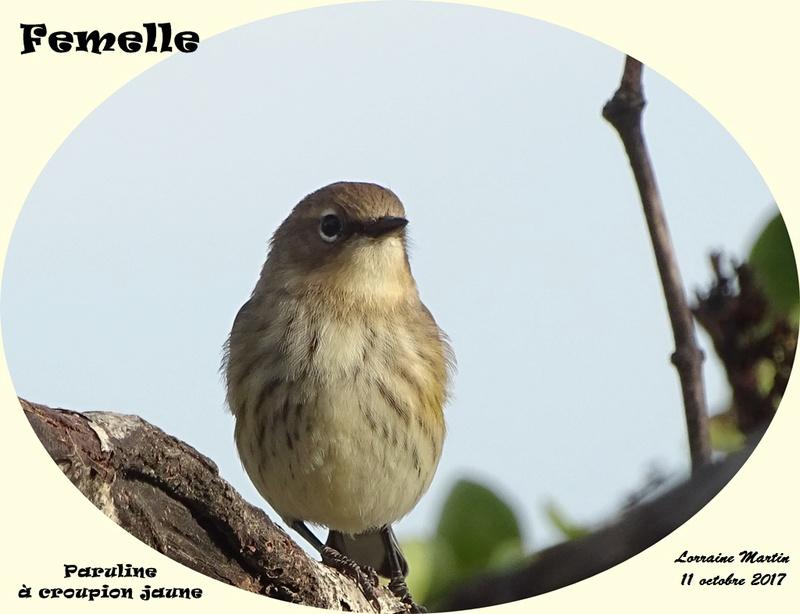 Paruline croupion jaune femelle  Paruli12