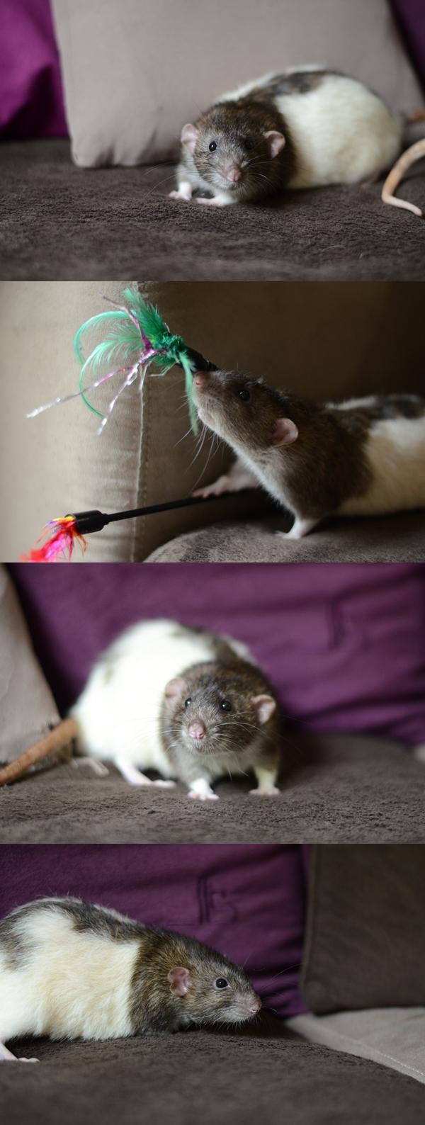 + de 200 rats à sortir des fourrières d'Ile de France  - Page 4 Cats10