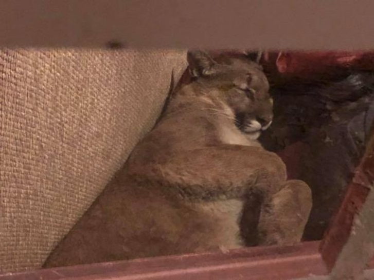 Mountain lion breaks into woman's home, takes catnap JonBenet Ramsey intruder theory 8f08e410