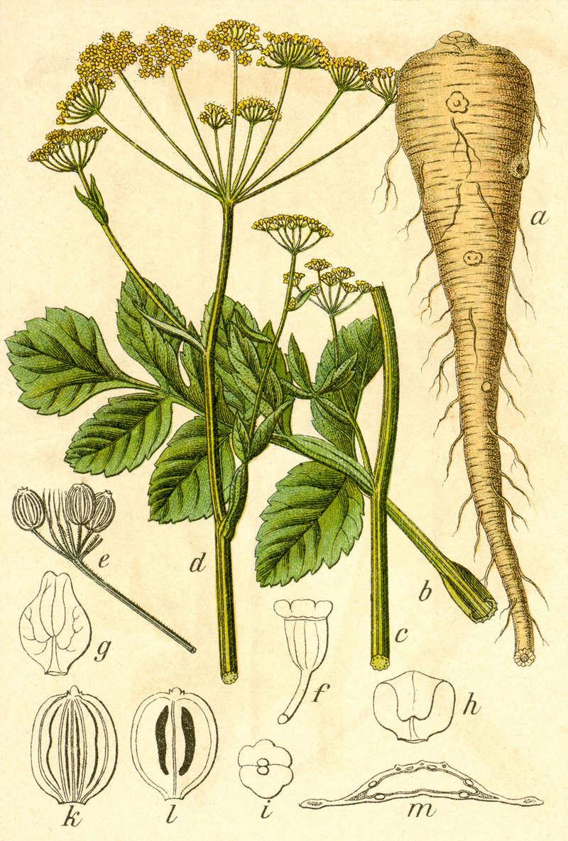 sauvage ou pas??pas PANAIS sauvage;Smyrnium perfoliatum subsp 1200px10