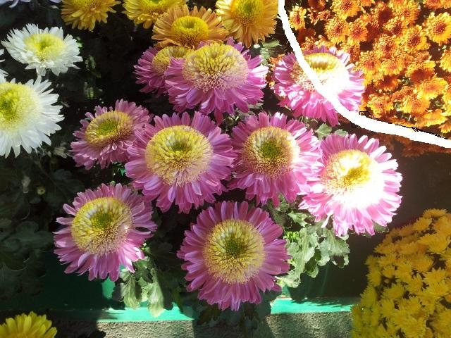 chrysanthèmes à gogo - Page 2 66040110