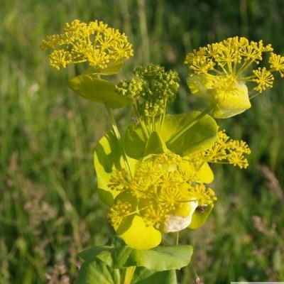 sauvage ou pas??pas PANAIS sauvage;Smyrnium perfoliatum subsp 66082_10
