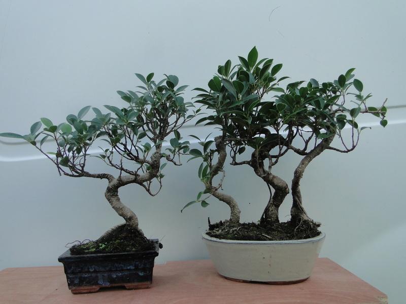 forêt de ficus  Dsc07624