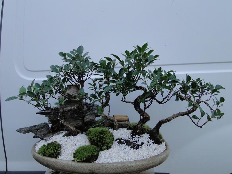 forêt de ficus  Dsc07626