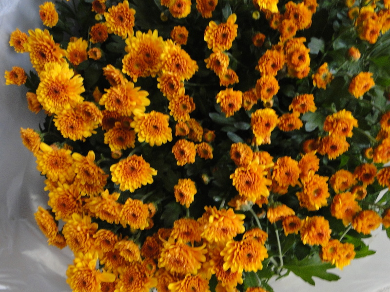 chrysanthèmes à gogo - Page 2 Dsc07630