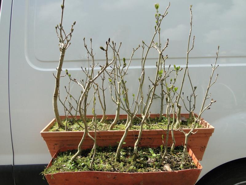 forêt de frêne (bonsaï)  Dsc08138